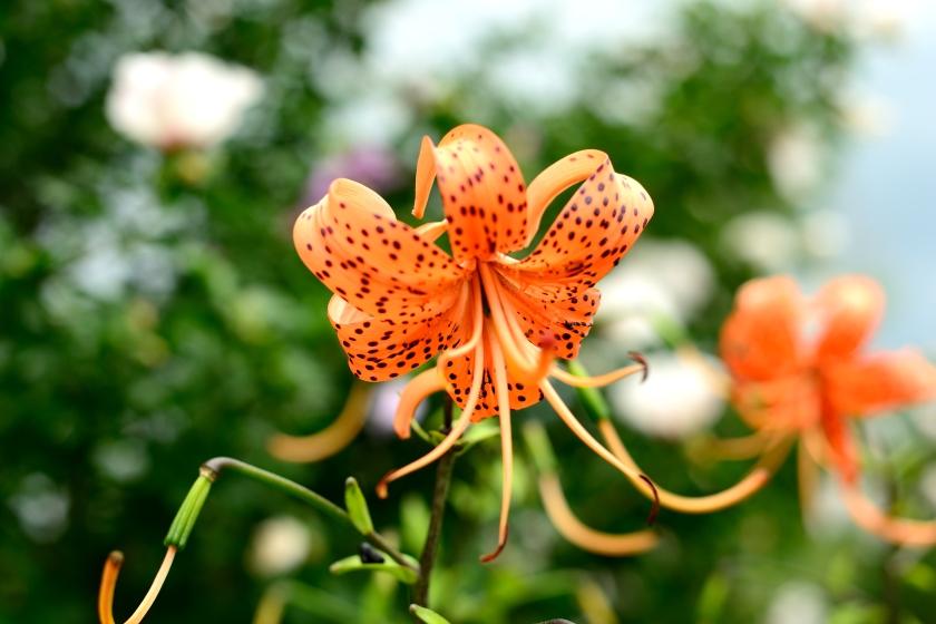 8-6-17 flowers (4)